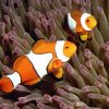 clownfish_fish_base_org